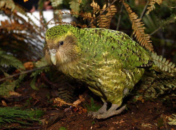 Попугай какапо идет по земле