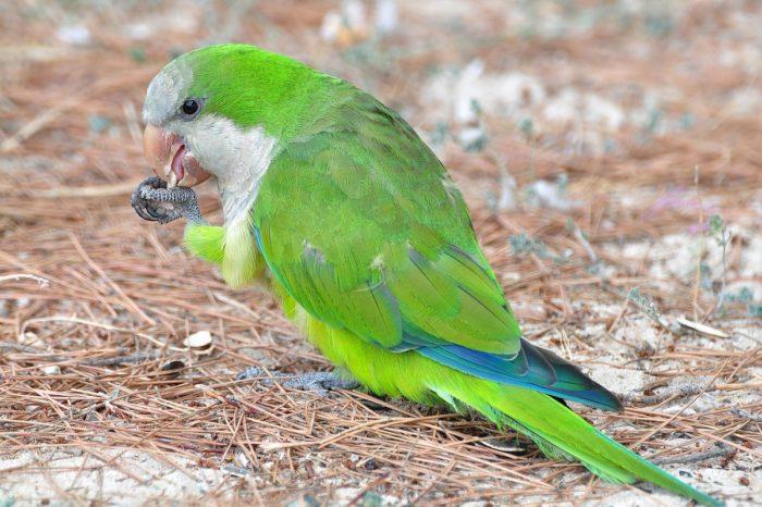 Попугай калита ест