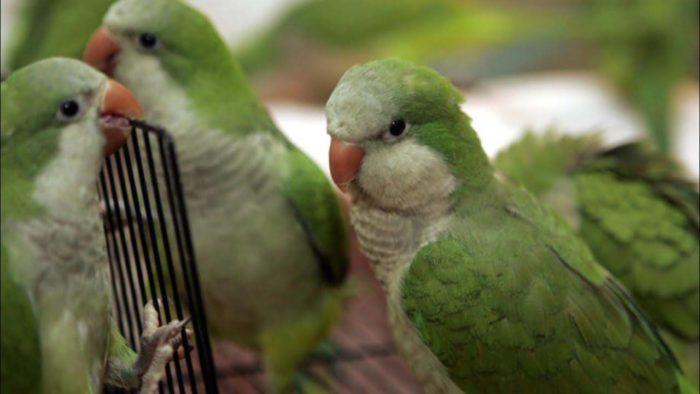 Домашний попугай квакер