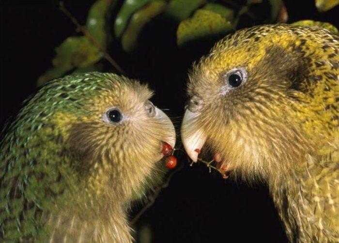 Размножение совиного попугая