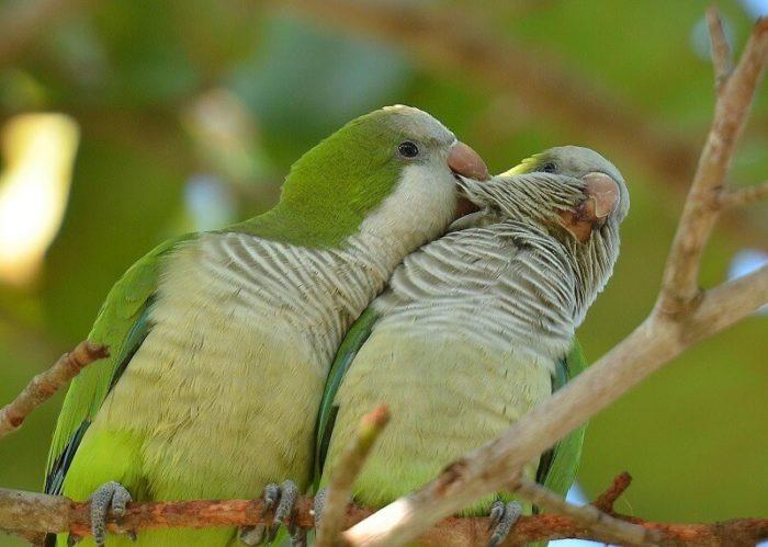 Размножение в дикой природе попугаев калита