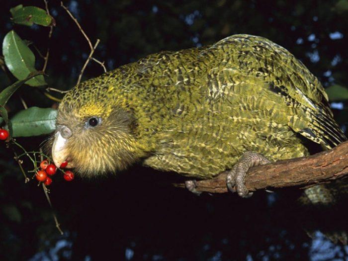 Совиный попугай ест