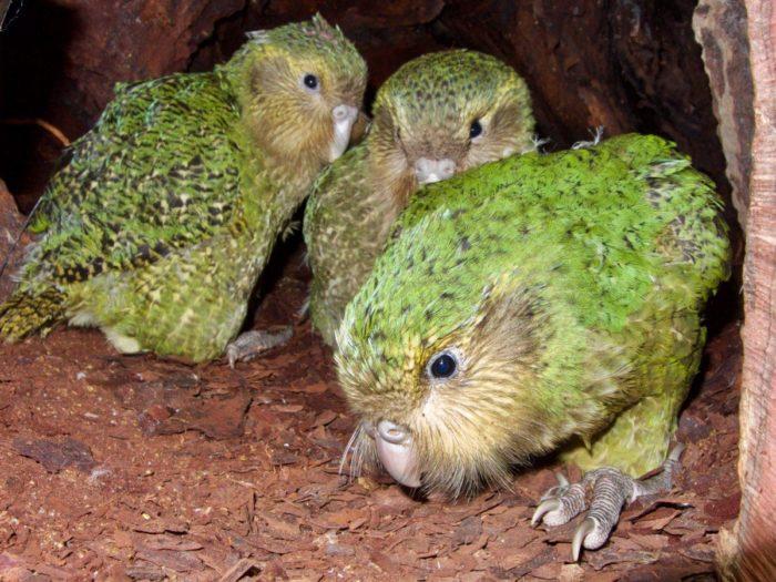 Маленькие попугайчики какапо