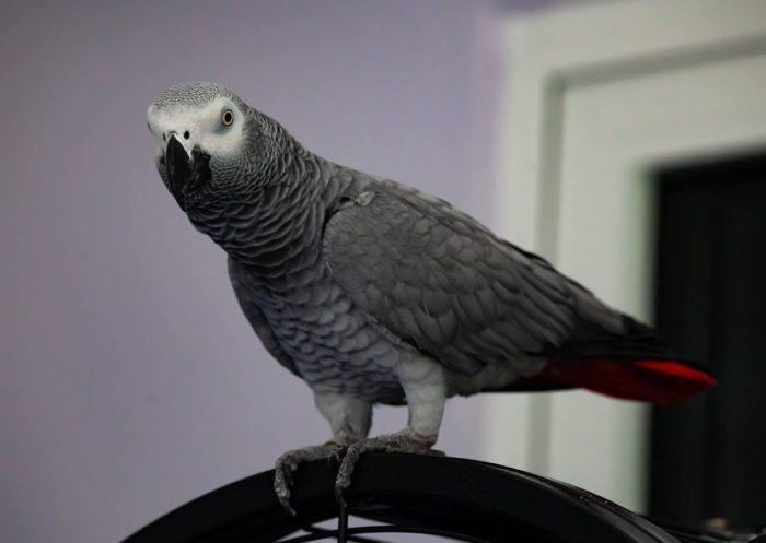 Попугай краснохвостый жако