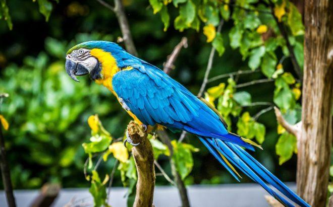 Попугай ара желто синий