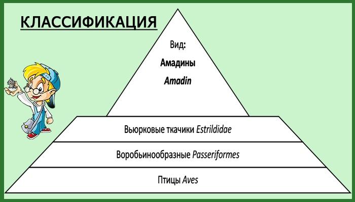 Таблица классификации амадин