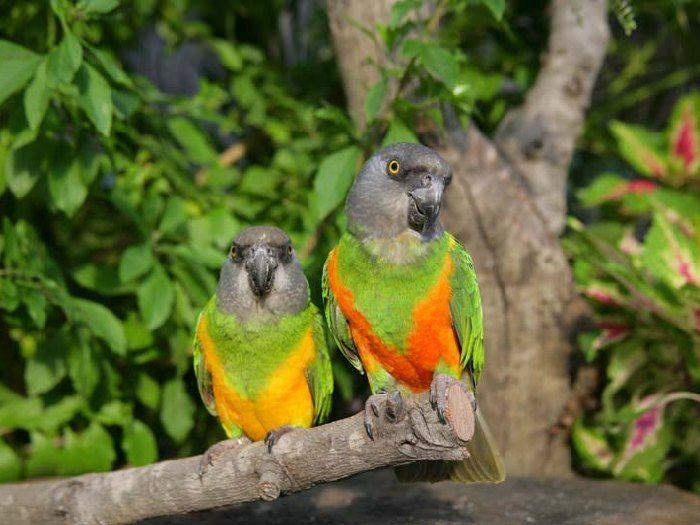Размножение сенегальских попугаев
