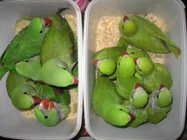 Разведение ожереловых попугаев