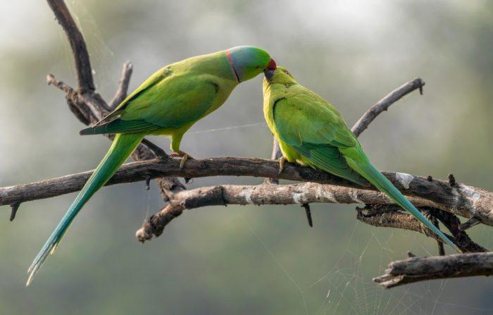 Ожероловые попугаи целуются