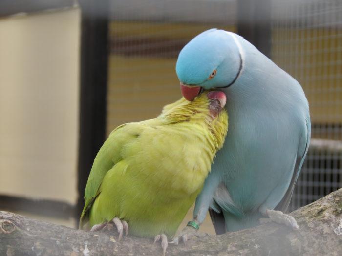 Голубой ожереловый попугай