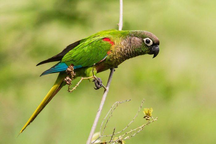 Попугай пиррура в дикой среде