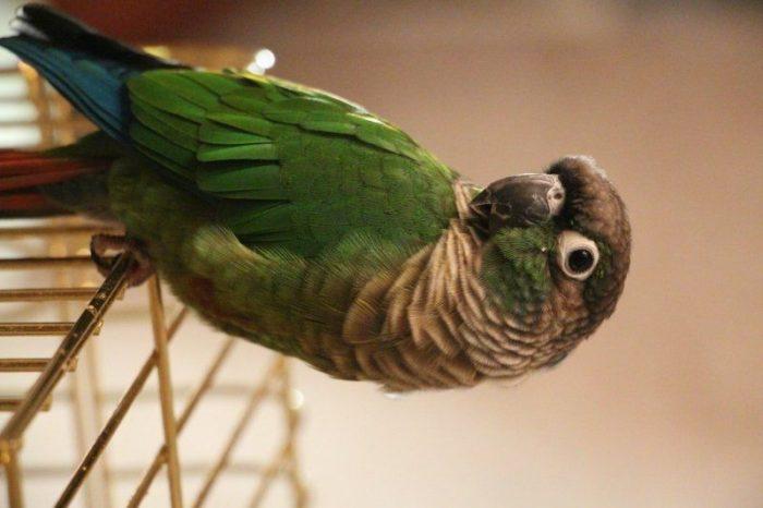 Попугай пиррура висит на клетке