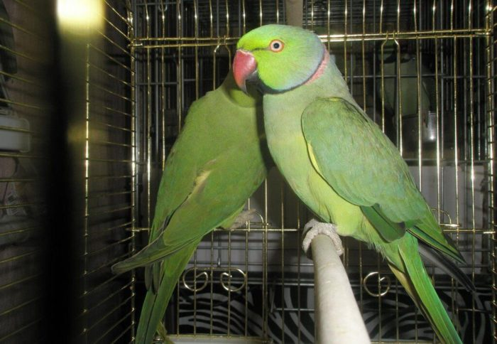 Содержание кольчатых попугаев в клетке