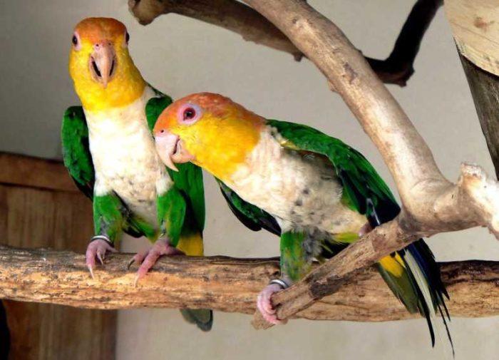 Каик домашний попугай