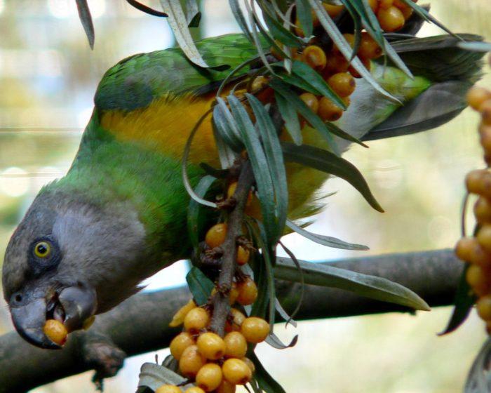 Сенегальский попугайчик кушает