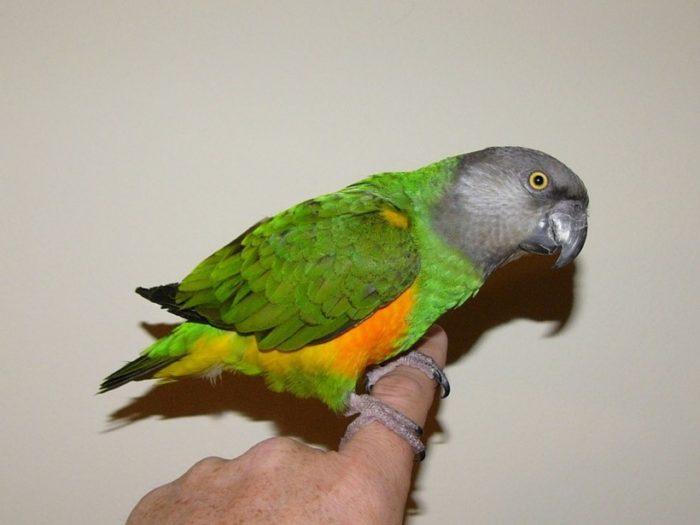 Ручной попугайчик сенегал