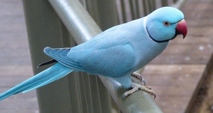 Ожереловый попугай голубой