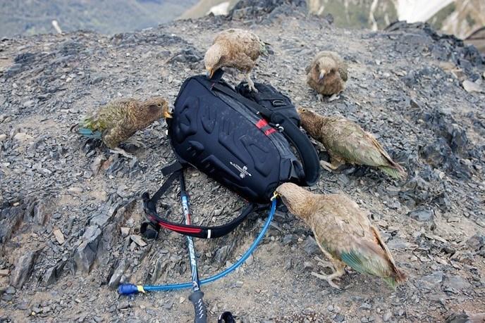 Попугай кеа разбирает рюкзак туриста