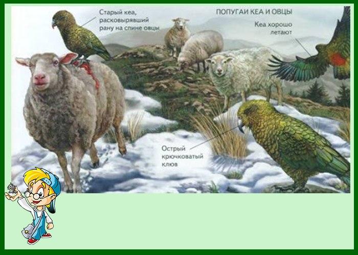 Попугай кеа охититца на овц
