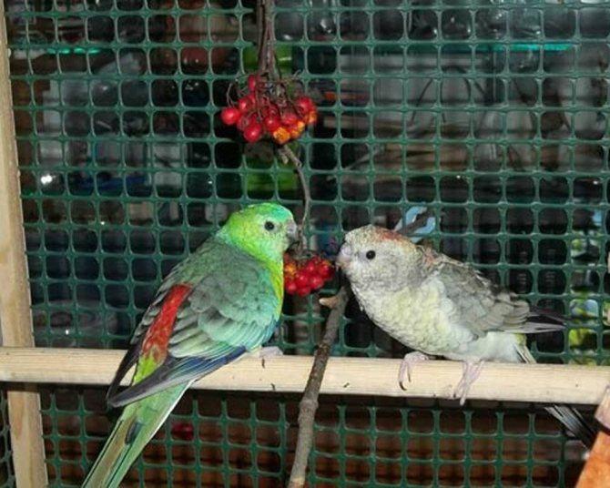 Содержание певчих попугаев