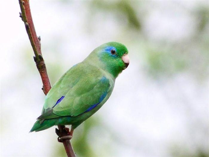 Разновидность воробьиного попугая