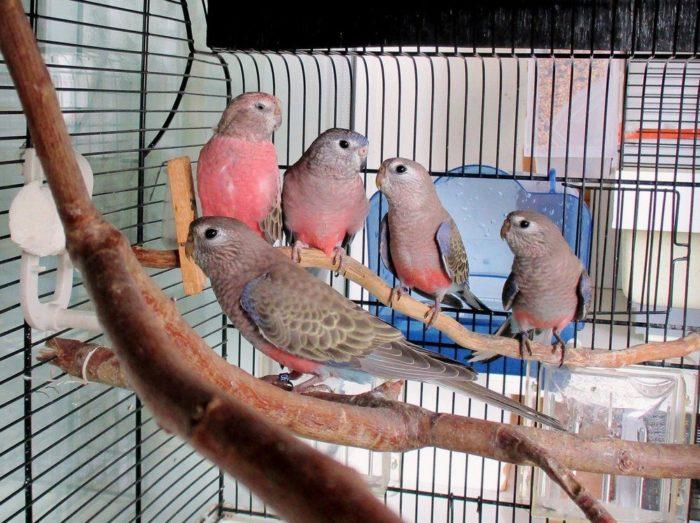 Разведение травяных попугаев