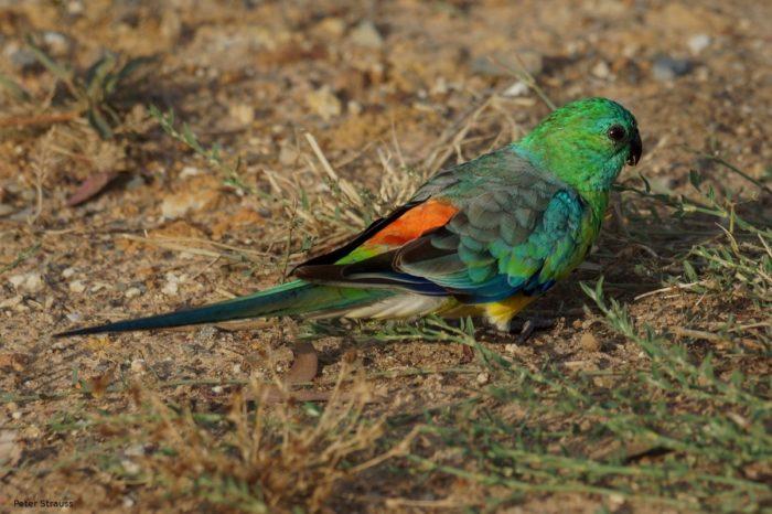Чем кормить певчего попугая