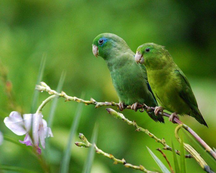Разновидности воробьиных попугаев