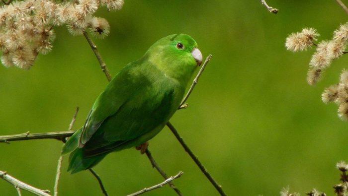 Внешний вид воробьиного попугая