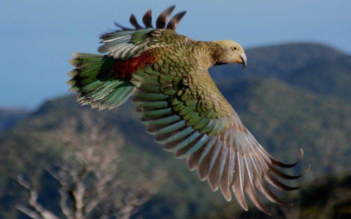 Хищный попугай летит