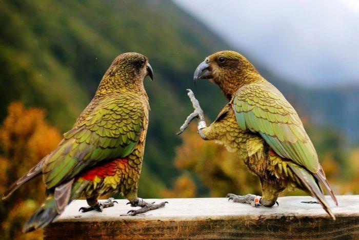 Пара попугаев кеа