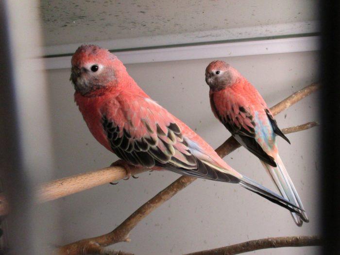 Размножение травяного попугая
