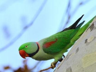 Александрийский кольчатый попугай