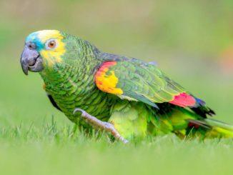 Попугай амазон гуляет