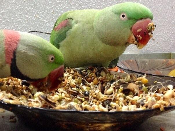 Александрийские попугаи кушают из тарелки