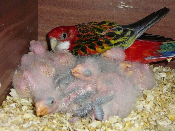 Птенцы попугая розелла