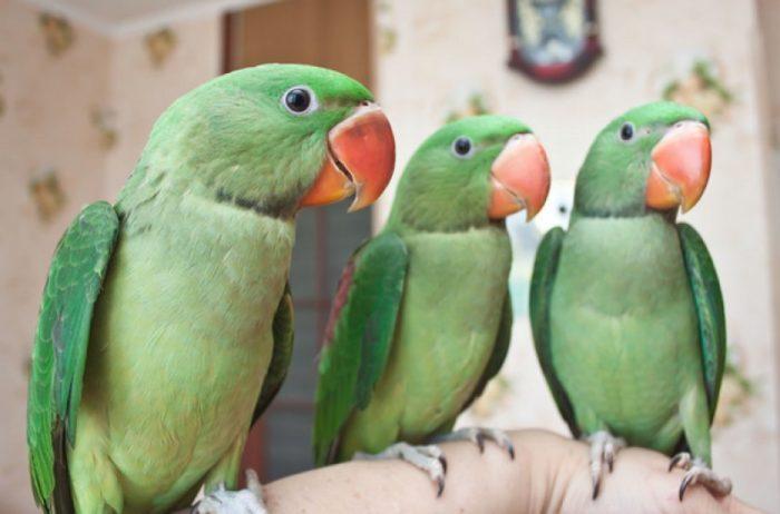 Молодняк александрийского попугая