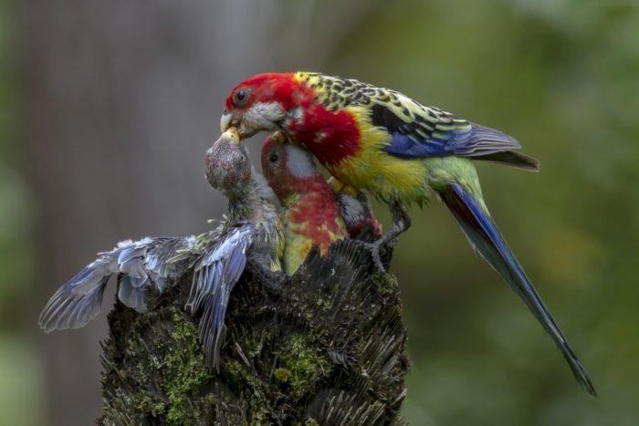 Размножение попугая розелла в дикой среде