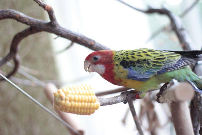 Питание попугая розелла