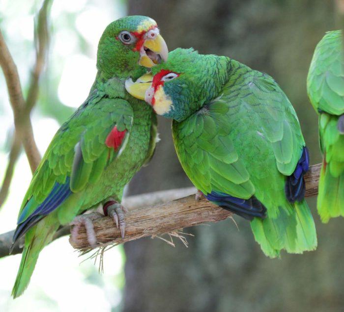 Самец и самка амазон попугай