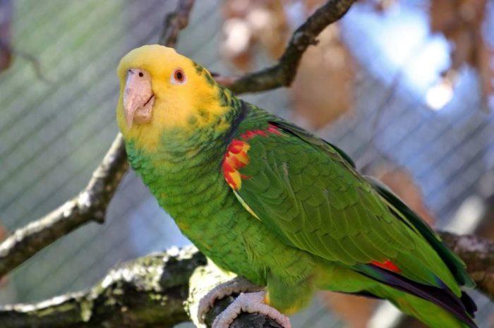 Вольерное содержание попугая амазон