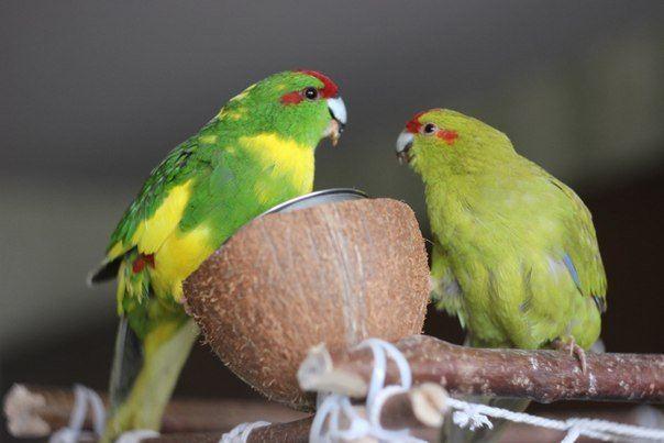 Размножение попугаев какарик