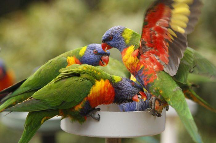 Семейство попугаев Лори
