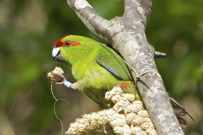 Чем кормить новозеландского попугая