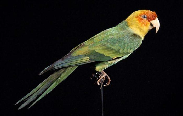Каролинский попугай инка