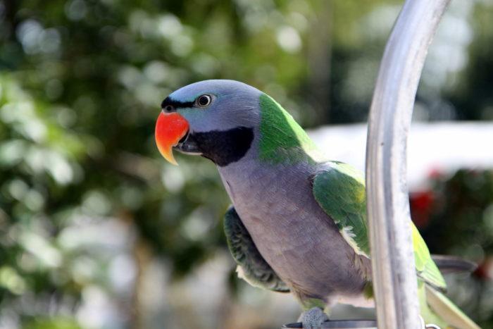 Чем кормить китайского попугая