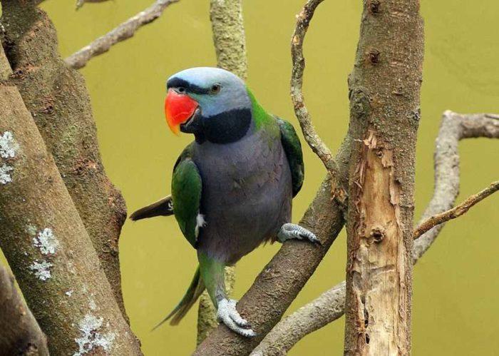 Китайский попугай сидит на ветке