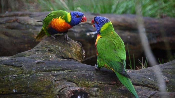 Попугай лори в природе