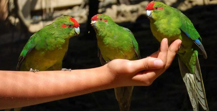 Приручение прыгающего попугая