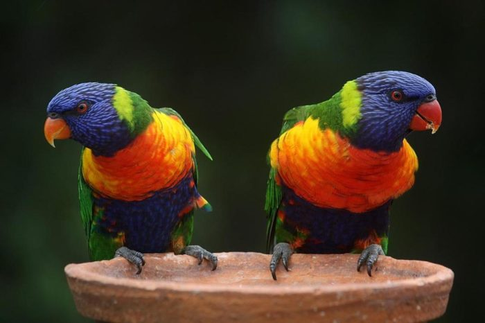 Попугайчики Лори